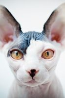 can someone buy me a hairless cat please by MiniFru