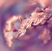 blossoming cherry 3 by hitforsa
