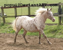 appaloosa pony13_stock by popui