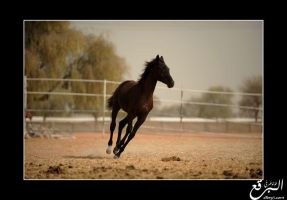 Black Foal Canter by elbrg3