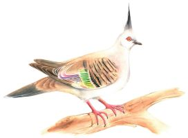 Crested Pigeon by Black-Charizard