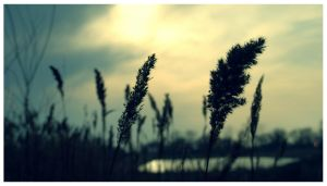 Tall Grass by DavidJosephGall