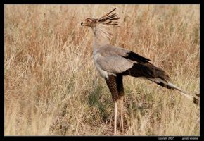 Secretary Bird by GeraldWinslow
