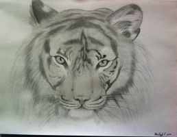 Tiger in Pencil by Miya-leigh