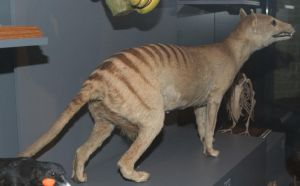 Female Thylacine 2 by t-subgenius