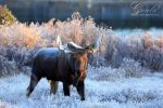 Moose, Morning Frost by ThisWomanWanders
