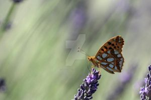 papillon by aldestmartin