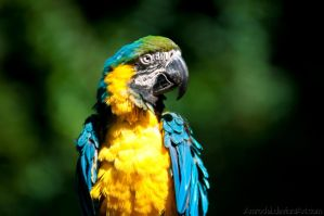 Blue-and-yellow Macaw II by amrodel
