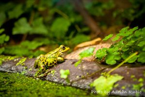 Smiling frog by adrumo