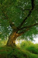 Belvoir Tree, Early Autumn 09 by Gerard1972