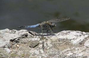 dragonfly by Ewe84