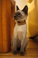 fancy cat collar by logikb