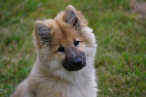Belina as a puppy by Mittelfranke
