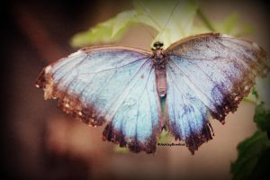 Morpho by crownvic4life