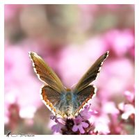 Lysandra bellargus I by Metalfire77