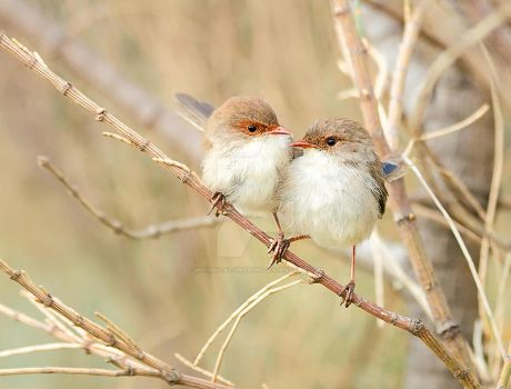 Fairywren Love by Whimsical-Dreams