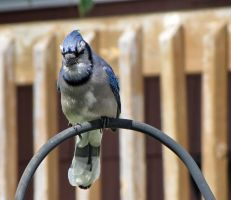 blue jay,pic 2 by Nipntuck3