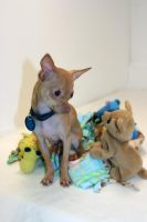 Brother Chihuahuas by kkplum