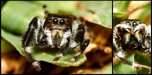 jumping spider 59 by JamesMedlin