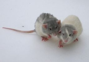Brother rats on Snow by usedbooks