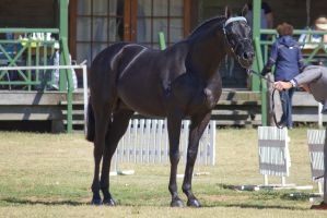 STOCK - 2014 TotR Arabians-62 by fillyrox