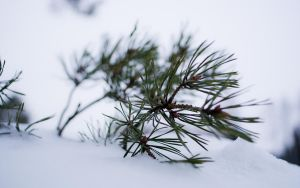 Snow and pine by Henrikson