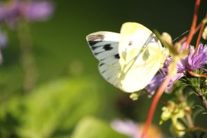 The Butterfly by Kaddastrophic