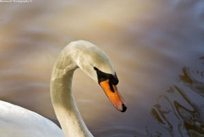Swans One Trillion by DoneForGood