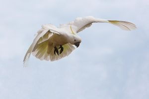 Sulphur Crested Cockatoo 9 by chezem