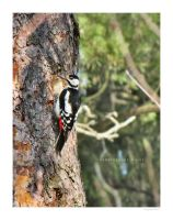Great Spotted Woodpecker by Pajunen