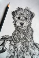 Yorkie-Chon Drawing by stardust12345