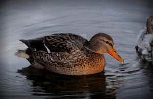 Lonely duck in water. by SallokcaB