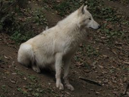 North American Arctic Wolf 32 by animalphotos