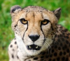 Don't come closer!  -  Cheetah Portrait by Manu34