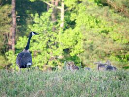 Goslings by purdyphotos