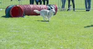 2014 Dog Festival, Agility Contest 5 by Miss-Tbones