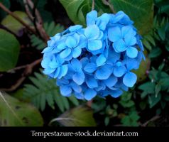Hydrangea 2-Stock by tempestazure-Stock