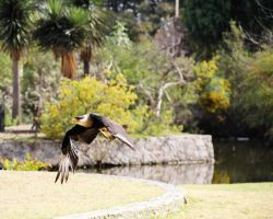 Soaring Caracara by deliquescing