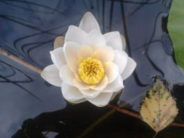 the white water lily... by JoeJonasFans92