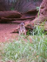Zoo: Meerkat 2 by Teh-Mongoose-Ninja