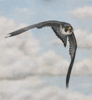 Peregrine Falcon. Oil on panel. 11 x 12 inches. by painterman33