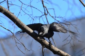 Worried spring Jackdaw by melodi996