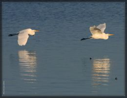Great White Egrets 40D0033650 by Cristian-M