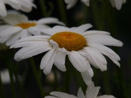 English Daisies 08 by botanystock