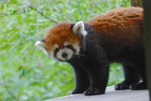 Red Panda by prettyflour