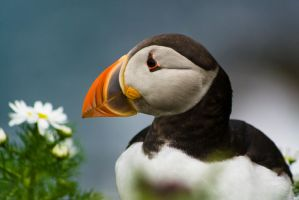 Sumburgh Puffin Reworked by Sagereid
