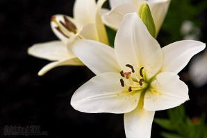 Lilies by aheria