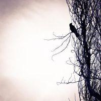 Crow On A Tree by antonisfes