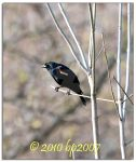 Red-winged Blackbird by bp2007