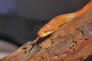 Amelanistic Corn Snake by Caloxort